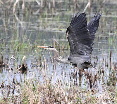 Great Blue Heron Taking Flight Print by Angie Vogel