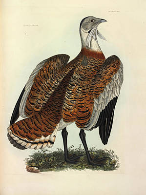 Otis Photograph - Great Bustard by Natural History Museum, London