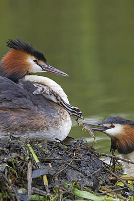 Great Crested Grebes Feeding Chick Print by Dickie Duckett