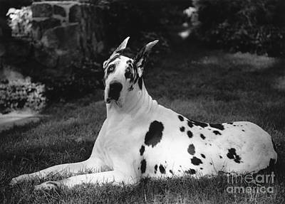 Great Dane Print by Margaret Miller
