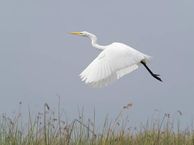 Great Egret Ardea Alba In Flight Print by Panoramic Images