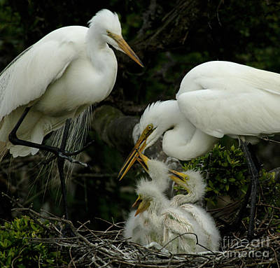 Egret Photograph - Great Egret Family 2 by Bob Christopher