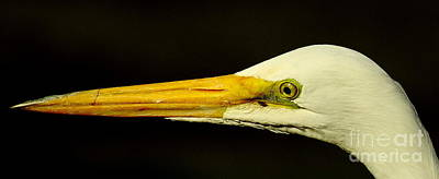 Great Egret Head Print by Robert Frederick