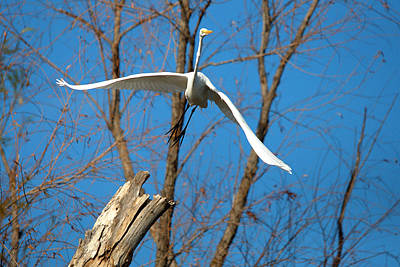 Great Egret In Flight Print by Roy Williams