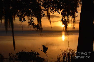 Natures Wonderful Colors Digital Art - Great Egret Taking Off by Nicholas Outar