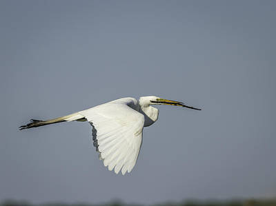 Egret Photograph - Great Egret With Intentions by Thomas Young