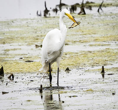 Wildlife Photograph - Great Egret With Prey by Ricky L Jones