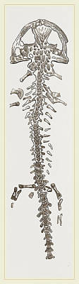 Salamanders Drawing - Great Fossil Salamander by Litz Collection