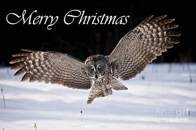 Owl Photograph - Great Gray Owl Christmas Card 7 by Michael Cummings