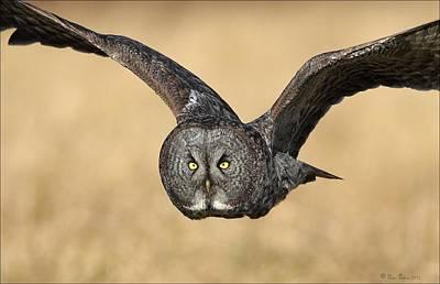 Great Gray Owl In Flight Print by Daniel Behm