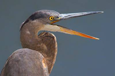 Great Heron Close Up Original by John Absher
