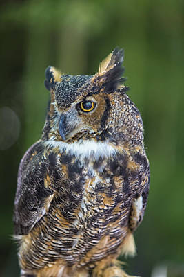Great Horned Owl Print by Bill Tiepelman