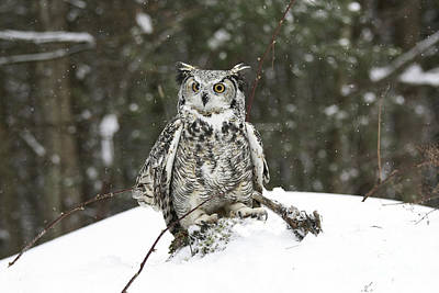 Great Horned Owl In A Winter Snow Storm Print by Inspired Nature Photography Fine Art Photography
