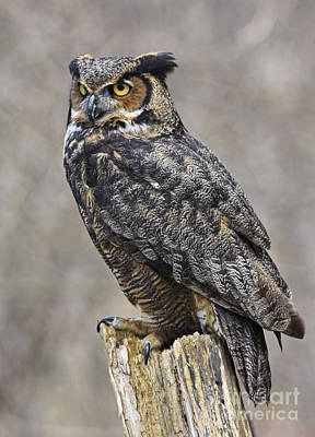 Great Horned Owl Watch Print by Inspired Nature Photography Fine Art Photography