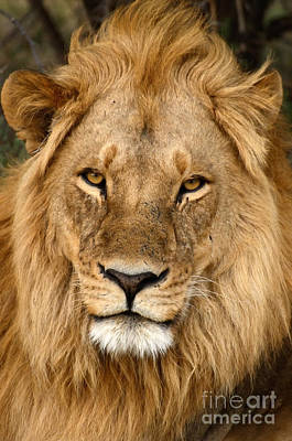 Photograph - Great Mane Relaxed Lion by Tom Wurl