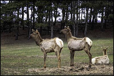 Roaming Elk Photograph - Great Michigan Elks by LeeAnn McLaneGoetz McLaneGoetzStudioLLCcom
