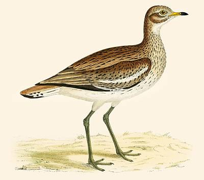 Plovers Photograph - Great Plover by Beverley R. Morris