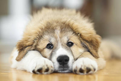 Great Pyrenees Puppy Lying Down Print by Ken Gillespie