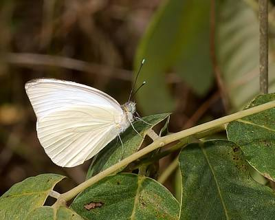 Eating Entomology Photograph - Great Southern White Butterfly by Rudy Umans