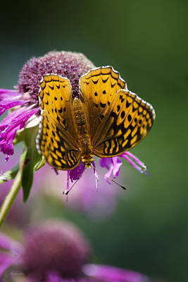 Great Spangled Fritillary Butterfly Print by Christina Rollo