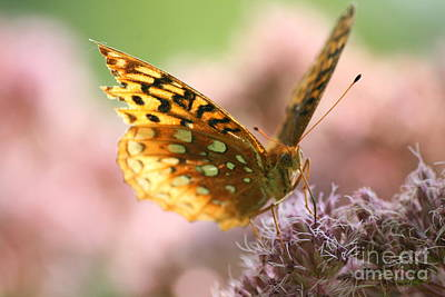 Great Spangled Fritillary Butterfly  Print by Neal  Eslinger