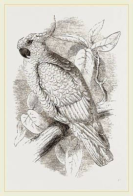 Cockatoo Drawing - Great Sulphur-crested Cockatoo by Litz Collection