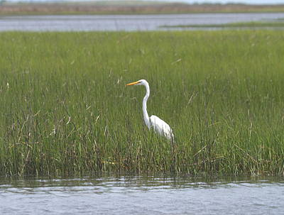 Bird Photograph - Great White Egret 2 by Cathy Lindsey