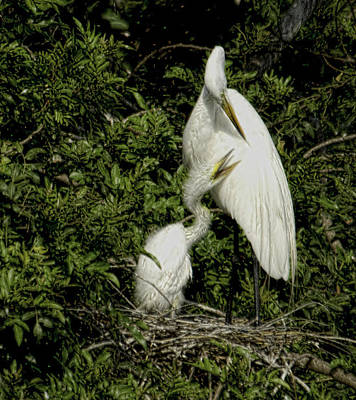 Photograph - Great White Egret And Chick by Patty MacInnis