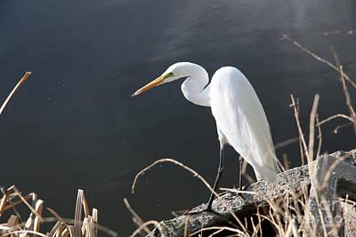 Uc Davis Photograph - Great White Egret by Juan Romagosa