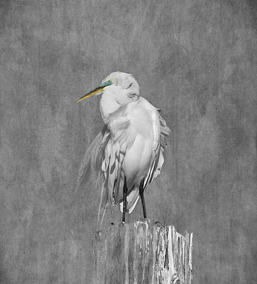 Kim Photograph - Great White Egret by Kim Hojnacki