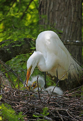 Great White Egret Mom And Chicks - Feeding Time Original by Suzanne Gaff