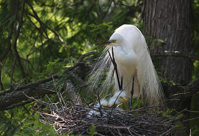 Great White Egret Mom And Chicks II Original by Suzanne Gaff