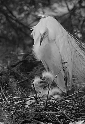 Great White Egret Mom And Chicks IIi In Black And White Original by Suzanne Gaff