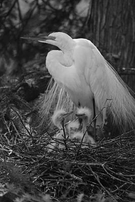 Great White Egret Mom And Chicks In Black Ans White Original by Suzanne Gaff