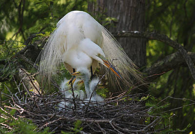 Great White Egret Mom And Chicks Iv Original by Suzanne Gaff