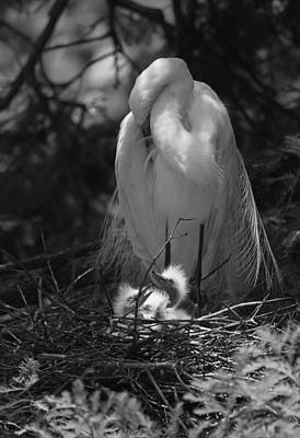 Great White Egret Mom And Chicks - Mom Needs A Nap Original by Suzanne Gaff