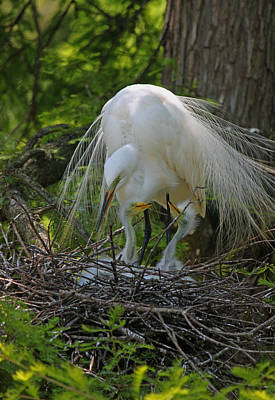 Great White Egret Mom And Chicks Xiii Original by Suzanne Gaff