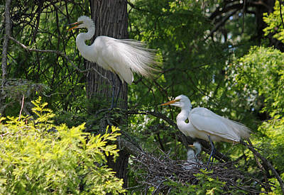 Great White Egret Mom And Dad And Chicks Original by Suzanne Gaff