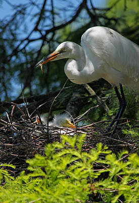 Great White Egret Mom Feeding Her Chicks Original by Suzanne Gaff