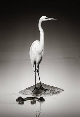 Great White Egret On Hippo Print by Johan Swanepoel