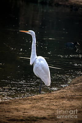 Great White Egret Print by Robert Bales
