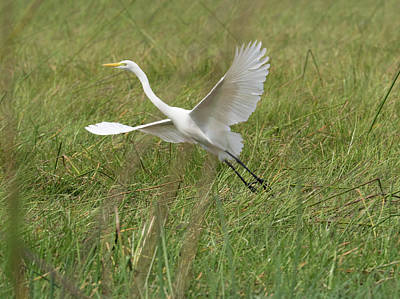 Great White Heron Ardea Alba Taking Print by Panoramic Images