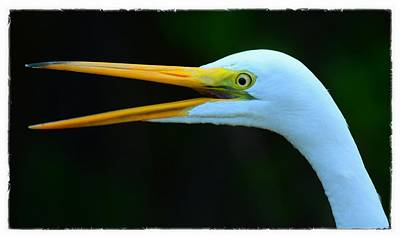Photograph - Great White Heron by Patty MacInnis