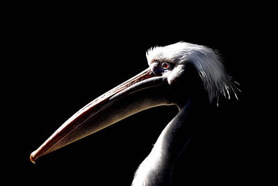 Pelican Photograph - Great White Pelican by Mark Rogan