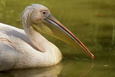 Great White Pelican On Water Print by Bob Gibbons