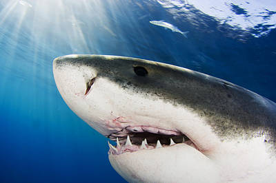 Undersea Photograph - Great White Shark Carcharodon by Dave Fleetham