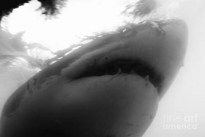 Great White Shark Mouth Open Underwater Print by Sami Sarkis