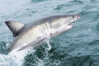 Great White Shark Print by Science Photo Library
