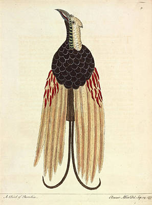 Greater Bird Of Paradise Print by Natural History Museum, London