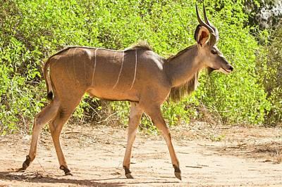Greater Kudu (tragelaphus Strepsiceros) Print by Photostock-israel
